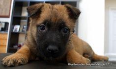 Belgian Malinois pup