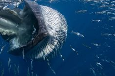 Bryde's Whale feeding Bryde's Whale, Humpback Whale, Great Whale, Baleen Whales, Cool Pictures Of Nature, Amazing Pictures, Ocean Underwater, Animal Science, Majestic Animals