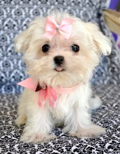 teacup maltese... I need this little puppy