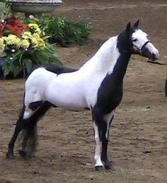 Wauk-a-Way Kansas Twister paint pony Most Beautiful Animals, Beautiful Horses, Doma Natural, Horse Markings, White Horses, Mini Horses, Majestic Horse, All The Pretty Horses, Mundo Animal