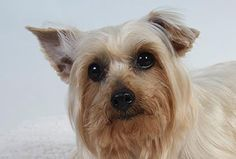 Adopt Grady, a lovely 8 years 4 months Dog available for adoption at Petango.com. Grady is a Terrier, Yorkshire and is available at the National Mill Dog Rescue in Colorado Springs, Co. www.milldogrescue... #adoptdontshop #puppymilldog #rescue #adoptyourfriendtoday