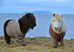 The Shetland ponies in jumpers who appear to have sparked interest in the Highlands and Islands. Picture: Rob McDougall