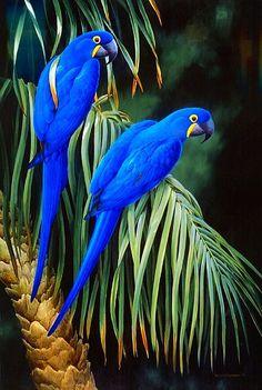 Royal Blue Macaws