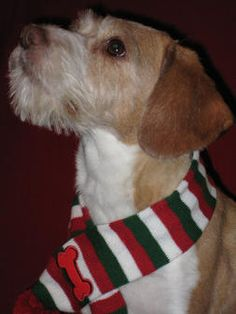 This Beagle Wire Haired Terrier Mix Looks A Little Like Our Cady