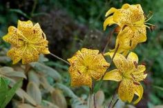 """Species Lily Bulbs  """"Leichtlinii"""" Yellow, with Brown/Orange  Spots"""