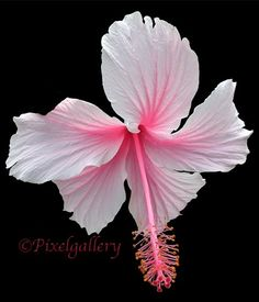 Pink Hibiscus 6x7 Fine Art Giclee Print by PixelGallery on Etsy, $15.00