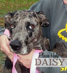 In Mechanicsburg PA: Daisy is a 2-3 yr old Great Dane/Catahoula Leopard Dog mix who is very unique-looking. She came to our rescue with heartworm and had to be treated and confined. She is now in great health and looking for a home of her own. Daiisy is up-to-date on shots, wormed, on monthly flea and heartworm preventative, microchipped and spayed.If you are interested in making Daisy a part of your family, please go to www.impawsablerescue.org  and complete an online application.