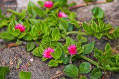 Cacti And Succulents, Planting Succulents, Cactus Plants, Outdoor Plants, Plant Decor, Bonsai, Bloom, Gardening, Gardens