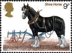 Shire Horse, UK