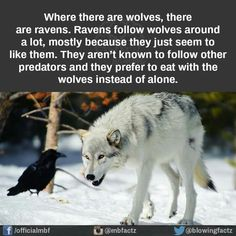 Nothing to do with my book, I just fin d it interesting, because Raven is the MC and his people are wolf shapeshifters. Facts About Wolves, Facts About Animals, Random Animal Facts, Fun Facts About Dogs, Beautiful Creatures, Animals Beautiful, Animals And Pets, Baby Animals, Wild Animals