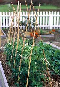excellent article about trellising vegetable plants and fruit trees for easier harvesting and more efficient use of space in a small yard