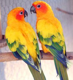 Sun Conure Parrots - like a sunrise.