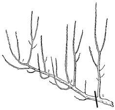 Рис. 56. Укорачивание боковой скелетной ветви с переводом на вертикальное ответвление четвертого яруса с удалением трех ярусов (вышележащих)