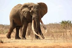 Satao the elephant was one of the oldest and largest pachyderms in the world. © Tsavo Trust