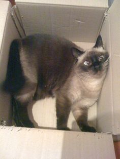 Looks like Coco in one of her favorite places. 202 pictures of cats in boxes. I Love Cats, Cute Cats, Funny Cats, Funny Animals, Cute Animals, Crazy Cat Lady, Crazy Cats, Kittens Cutest, Cats And Kittens