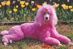 Tedi, the Macon Cherry Blossom festival's first pink poodle. Grey Poodle, Small Poodle, Poodle Mix, Poodle Puppies, Poodle Grooming, Dog Grooming, Baby Animals, Cute Animals, Animal Babies