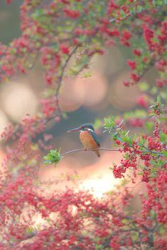 The Pyracantha Tree & Kingfisher
