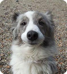 4/8/15 Goleta, CA - Sheltie, Shetland Sheepdog. Meet Seasons, a dog for adoption. http://www.adoptapet.com/pet/12725783-goleta-california-sheltie-shetland-sheepdog