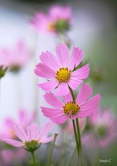 Pink cosmos - Full-frontal image, unframed