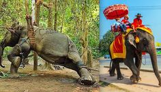 The side of elephant rides they don't want you to see. Just don't ride them. They deserve to be admired.