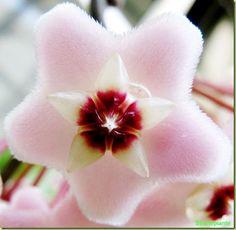 Hoya carnosa - Foto fiori succulent