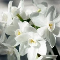 Narcissus 'Ariel' ® / 'Scilly White'