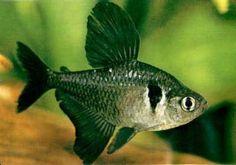Monjitas http://www.mascotadomestica.com/especies-de-peces/monjitas.html