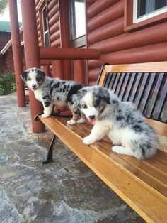Australian Shepherd puppies sitting on a bench. Very cute picture of one of the smartest dog breeds. Colorful merle aussie puppies taking a picture. Australian shepherds are great family working dogs. - Tap the pin for the most adorable pawtastic fur baby apparel! You'll love the dog clothes and cat clothes! <3