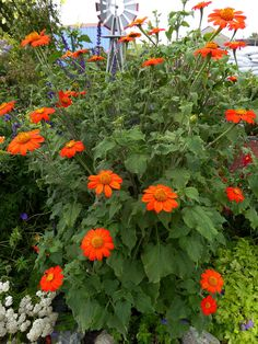 Tithonia rotundifolia 'The Torch' (Titonia/Tournesol Mexican Sunflower): fire into the garden! Mexican Sunflower, Mexican Flowers, Sunflower Garden, Planting Sunflowers, Red Sunflowers, Tropical Landscaping, Landscaping With Rocks, Landscape Design, Garden Design