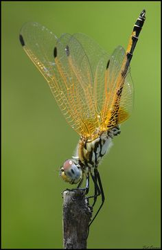 """""""Dragonfly doing a hand stand"""" ~ By Frik Erasmus"""