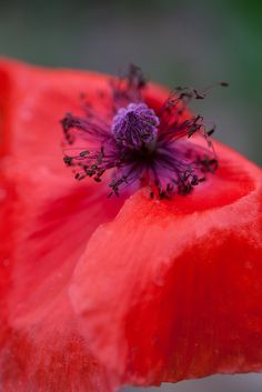 A very red poppy