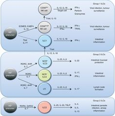 Innate lymphoid cell family overview http://onlinelibrary.wiley.com/enhanced/doi/10.1111/imm.12098/?utm_content=buffered1b3&utm_medium=social&utm_source=pinterest.com&utm_campaign=buffer #immunology #science #NKcells #GATA3 #ILCs #cytokines