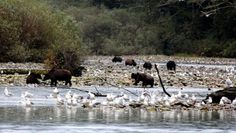 Spirit Bear Adventures - A Grizzly Gathering Visit the Great Bear Rainforest