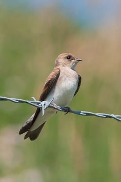 Northern Rough-winged Swallow | Northern rough-winged swallow ('' Stelgidopteryx serripennis ...
