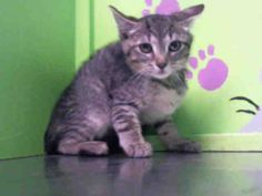 NO LONGER LISTED- MAVERIK - URGENT - BARC Animal Shelter in Houston, Texas - ADOPT OR FOSTER - 15 WEEK OLD Neutered Male Tabby/Domestic SH Mix - at shelter since June 22, 2016