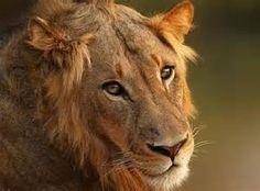 Resultados de la búsqueda de imágenes: leones - Yahoo Search