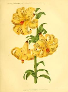 Lilium szovitsianum - circa 1876