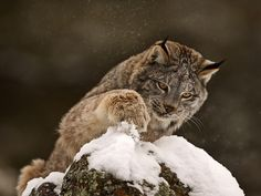 Animals That Live in the Arctic   Download Wallpaper Snow Animals Lynx 1600x1200 HD Wallpaper