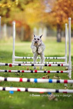 Miniature Schnauzer going over agility jumps by Amanda Keefer Dunn Agility Training For Dogs, Dog Agility, Training Your Dog, Mini Schnauzer, Miniature Schnauzer, Really Cute Puppies, Cute Dogs, Baby Dogs, Dogs And Puppies