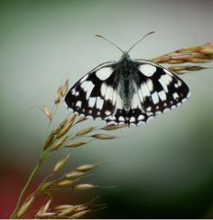 Marbled White (Melanargia galathea) by Gaz-zee-boh, via Flickr