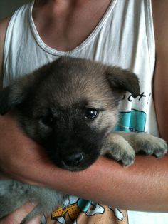 Vaila, a norwegian elkhound