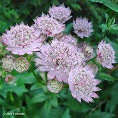 """Die Sterndolde ist eine sehr hübsche Staude mit ungewöhnlichen Blüten, dessen kunstvolle Blütenaufbau jeden Pflanzenliebhaber begeistert. """"Alba"""" hat, wie der Name schon sagt, weiße Blüten, die einen Hauch von rosa tragen.Sterndolden sind problemlos und auch für schattige Standorte geeignet. Der Boden sollte feucht und nährstoffreich sein. Eine Verwendung in Trockensträußen ist sehr beliebt."""
