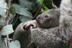 Baby's close up Koala Marsupial, Quokka, Australian Bush, Australian Animals, Koala Tattoo, Baby Koala, Kangaroos, Wildlife, Bear
