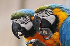 parrots love popcorn