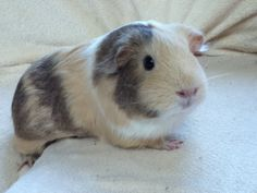 This guinea pig has almost the same markings as my deceased baby.  I miss my baby boy do much!