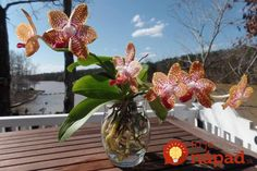 Risultati immagini per grow orchids in water Oncidium, Paphiopedilum, Water Culture Orchids, Water, Growing, Orchids In Water, Flowers, Hydroponics, Culture