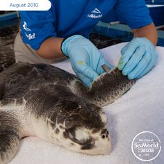 The oil spill in the Gulf of Mexico affected many marine animals, such as this endangered Kemp's ridley sea turtle. Here, a SeaWorld aquarist applies an identification tag to the little guy in its preparation for return to the wild. #365DaysOfRescue