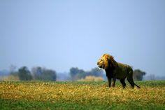 Busanga Boy - Sjani Cuyler #lion