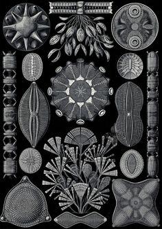 Ernst Haeckel.  Diatomea,   Kunstformen der Natur (Art Forms in Nature). 1899-1904.