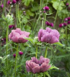 papaver 'Patty's Plum' and cirsium rivulare